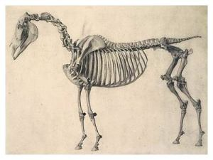 G Stubbs skeleton of a horse 1766