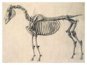 G Stubbs skeleton of a horse 1766